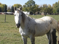Image: white and brown Horse