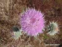Image: Thistle on the side of a mountain near Taos, New Mexico Summer 2005